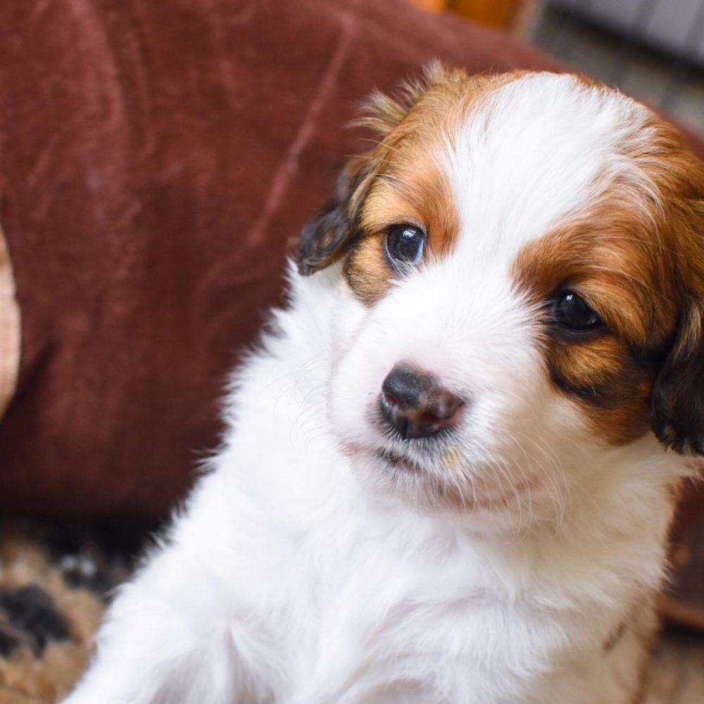 cute-puppy-HV3DS63